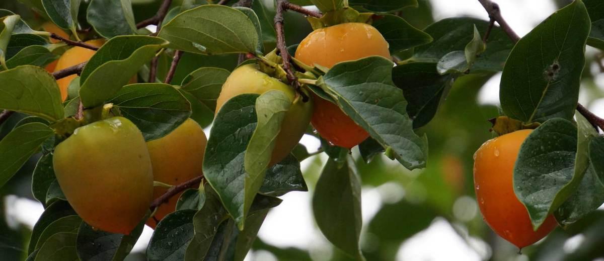 Kesemek, Lebih Hebat Dari Apel