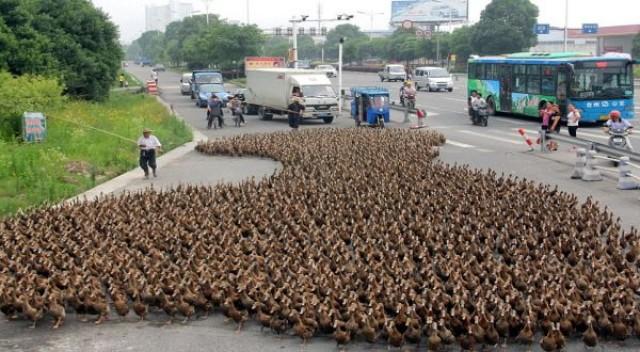5,000 ducks block traffic on their way to feed in Zhejiang province, China - 17 Jun 2012